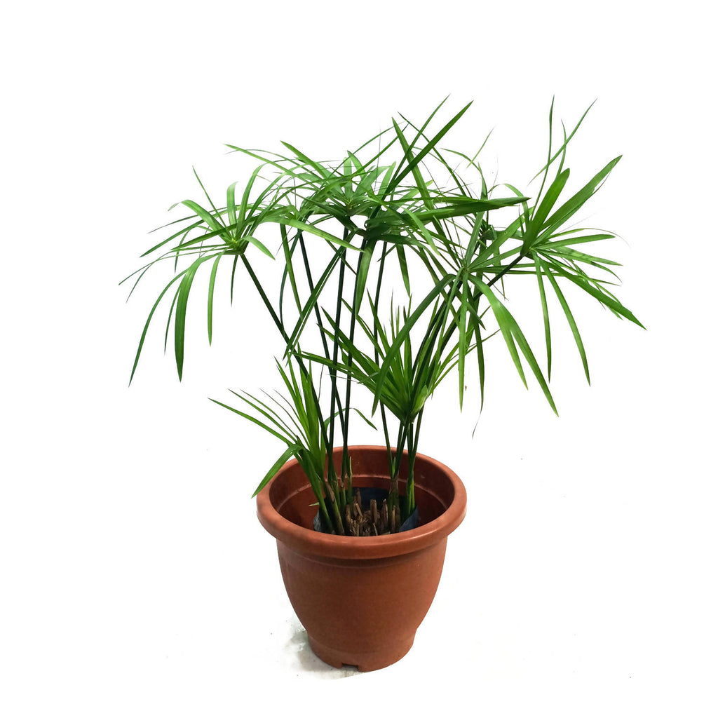 Cyperus alternifolius, Umbrella Palm (0.5m)