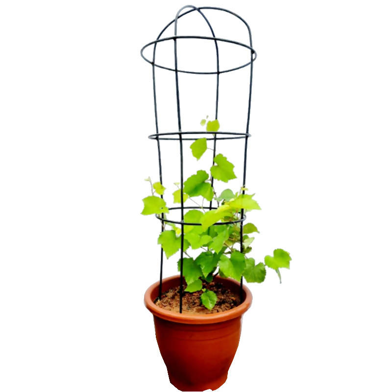 Vitis Vinifera, Common Grape Vine with Trellis Decorative Metal Climbing Frame (0.6mH)