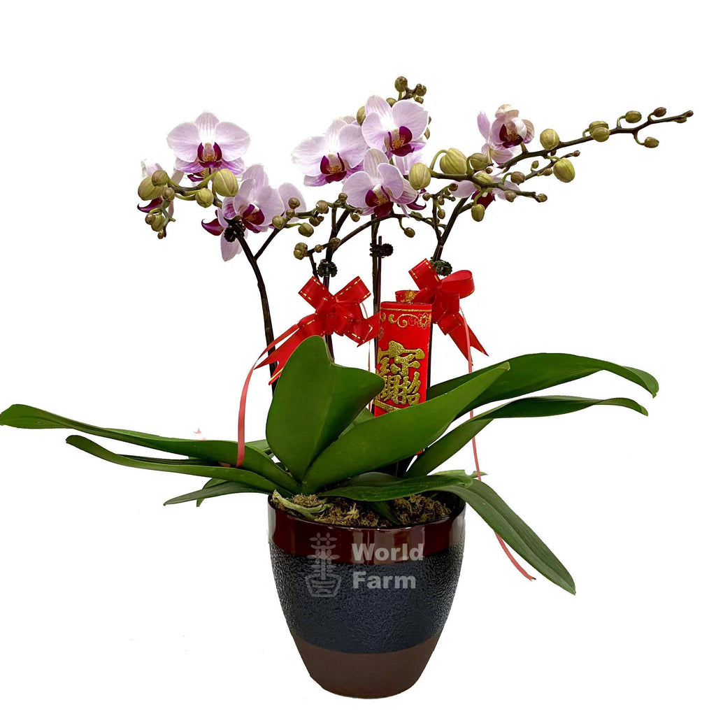2-in-1 Phalaenopsis, Multi-coloured in Ceramic Pot
