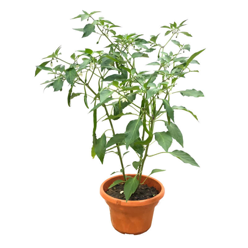 Capsicum annuum, Chilli Pepper (0.8m)