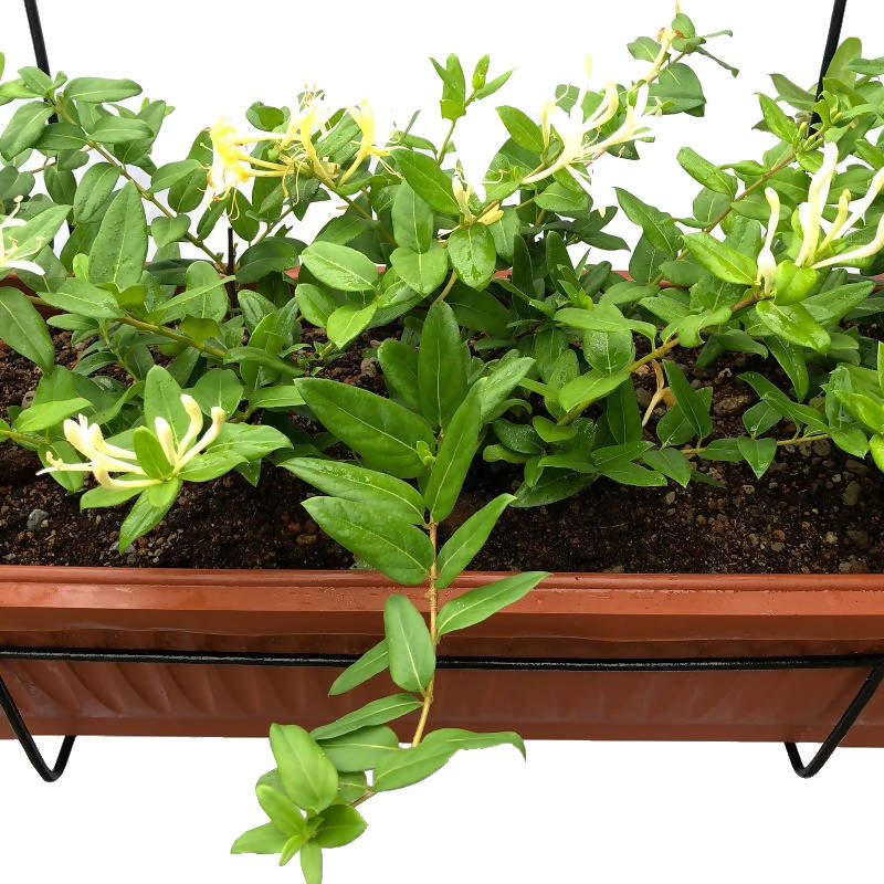 Japanese Honeysuckle in Ø 63cm Long Planter Metal Hanger