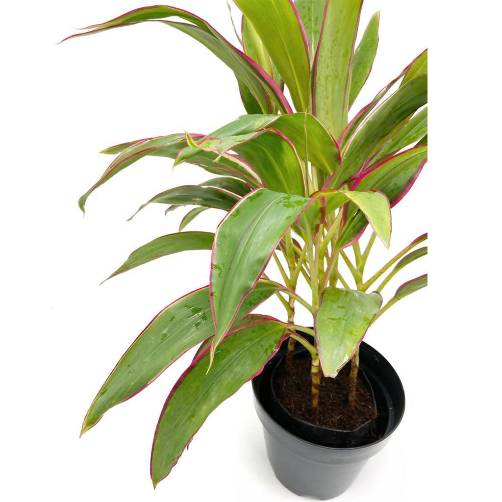 Cordyline fruticosa 'Baby Ti', Good Luck Plant (0.3m)