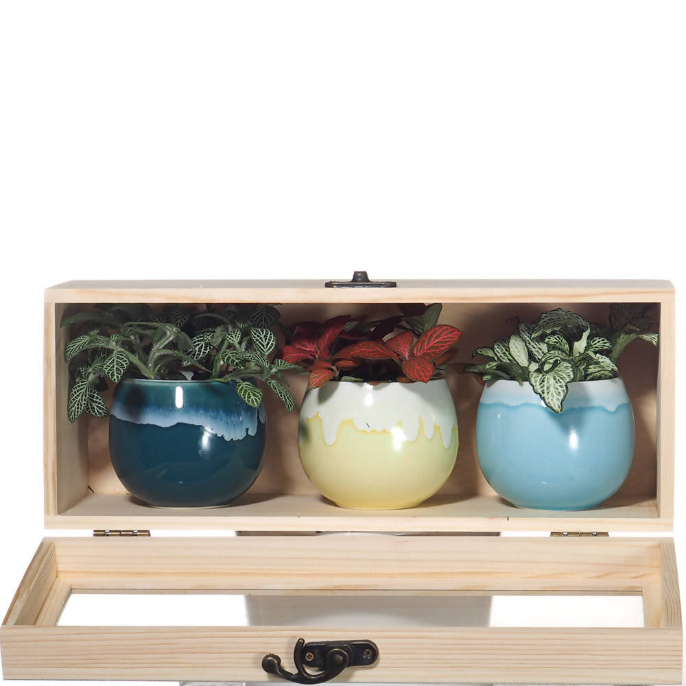 Fittonia Assorted Color GIft Set