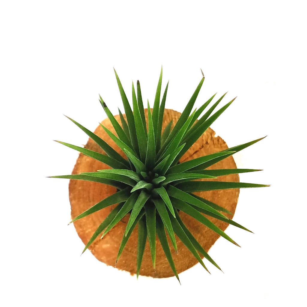 Ionantha airplant with Wood (0.1m)