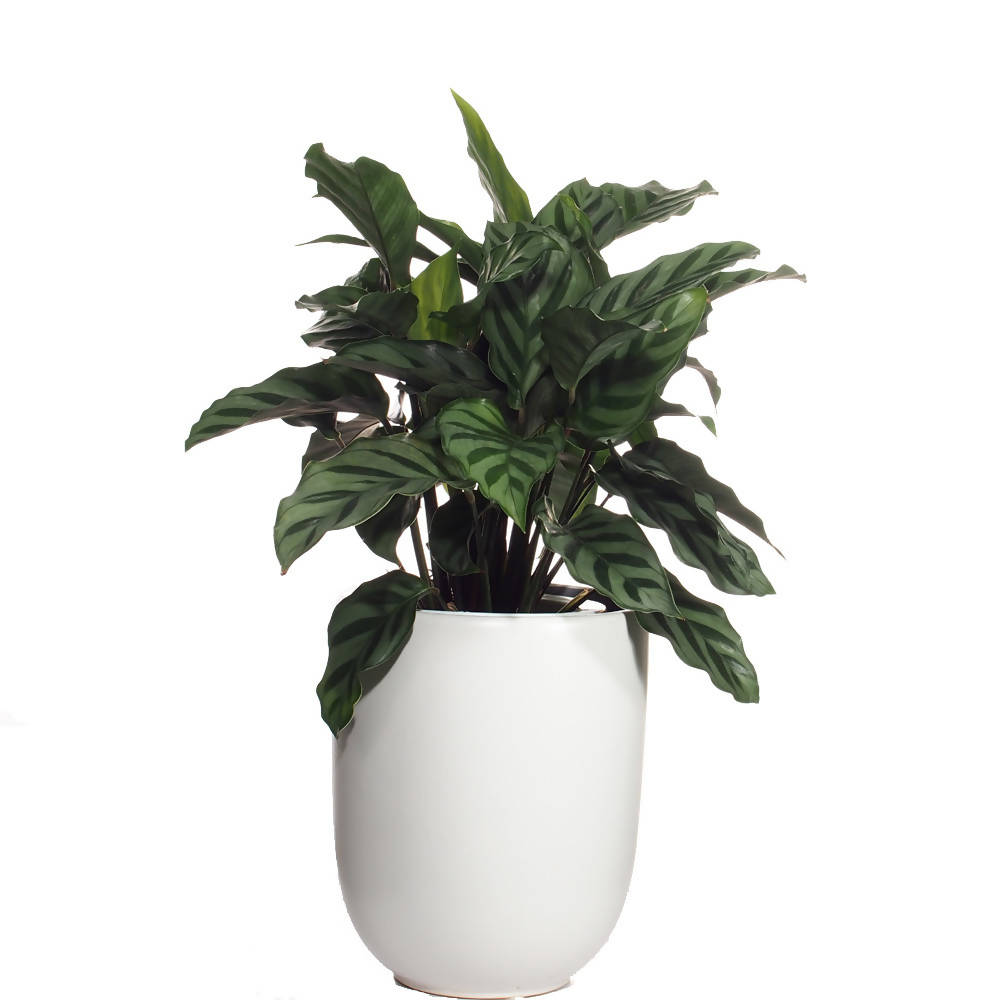 Calathea Concinna, zebra plant waterculture in ceramic pot