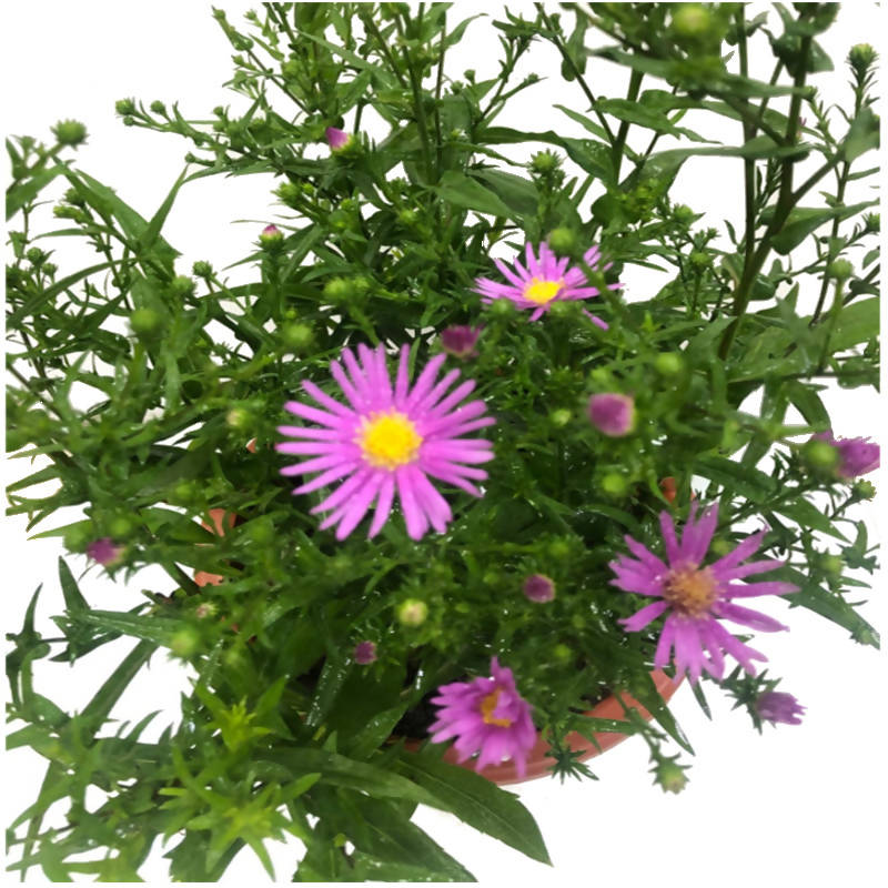 Spreading Aster, Purple Aster (0.3m)