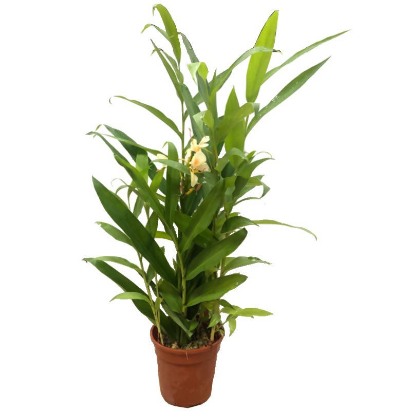 Hedychium sp. 'Peach', Narrowleaf Ginger, Butterfly Ginger (0.5m)