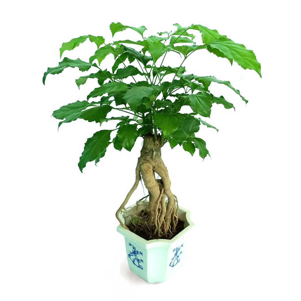 China doll Bonsai, Radermachera sinica(Small) (0.3m)
