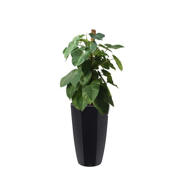 Philodendron Imperial Green with Brussels Diamond High Allin1 40cm