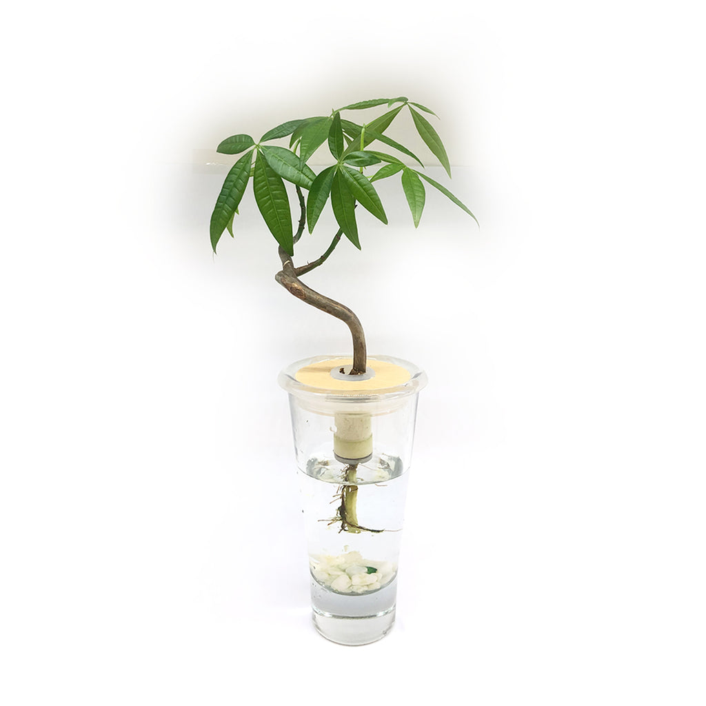 Hydroponic Bonsai in Pretty Vase