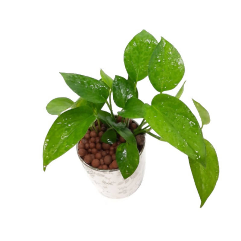 Epipremnum aureum, Money Plant, Devil's Ivy in White Chinaware Pot (0.2m)
