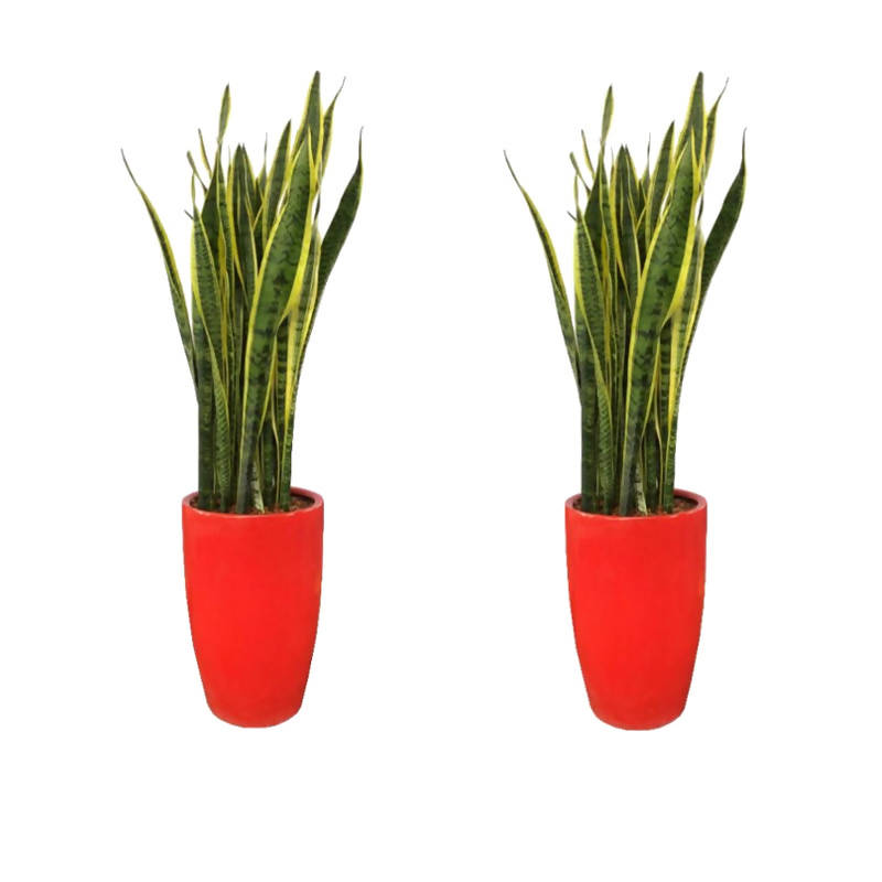 Per set of 2 - Dracaena trifasciata 'Laurentii', Mother-In-Law's Tongue with Red Ceramic Pot (1.2m)