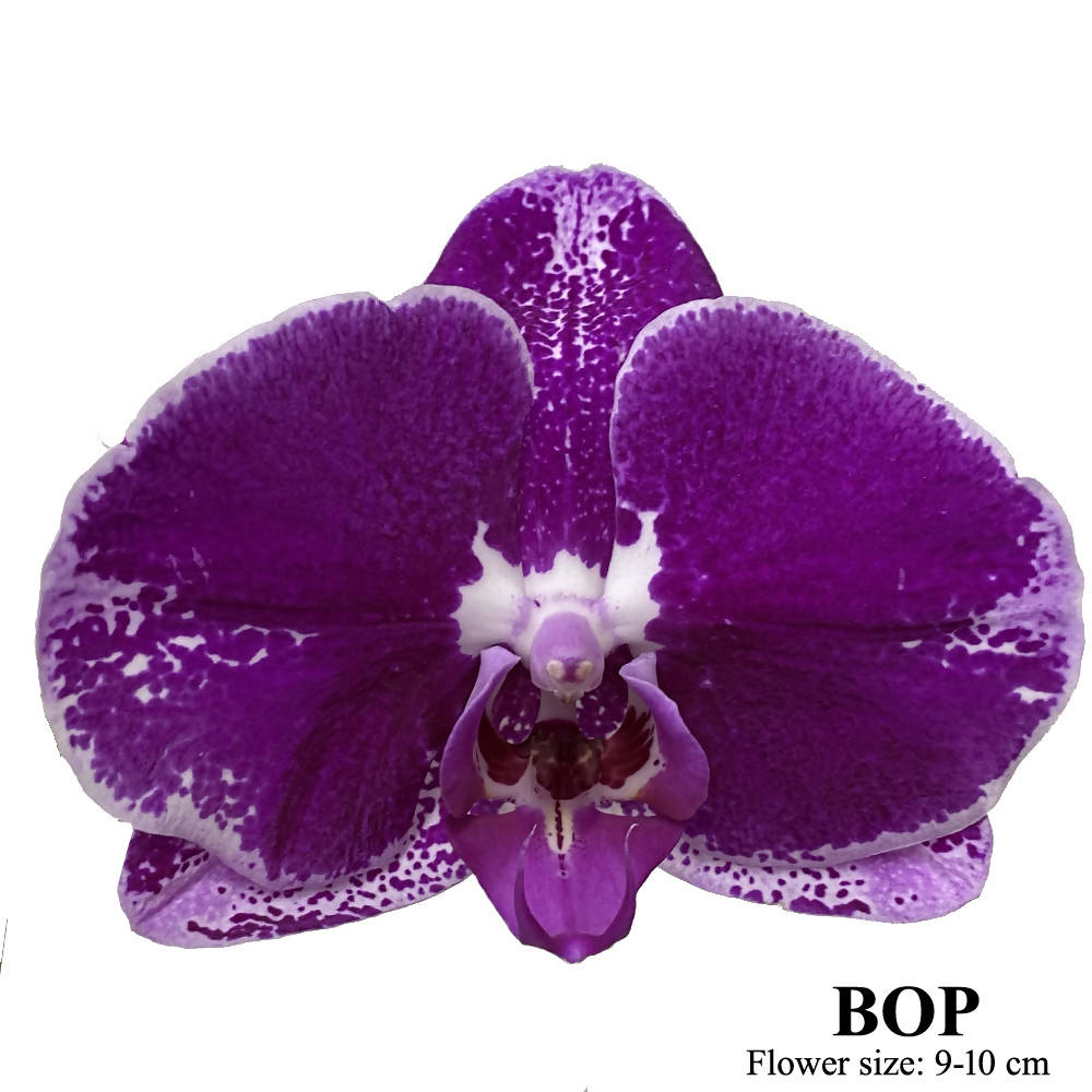 1 in 1 Phalaenopsis BOP with pot