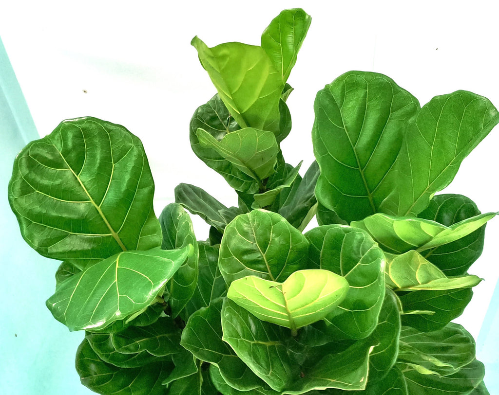 Ficus lyrata, Fiddle Leaf Fig Tree (1m)