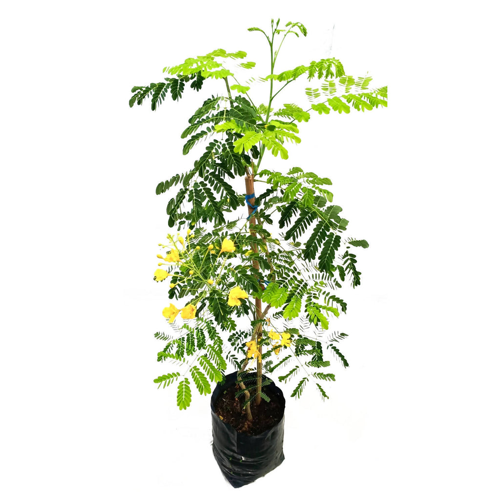 Caesalpinia pulcherrima, Yellow Peacock Flower in Bag (1.3m)