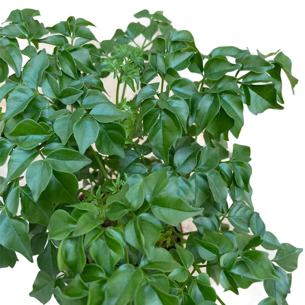 Radermachera sinica, China Doll Plant, Emerald Tree (0.20m)