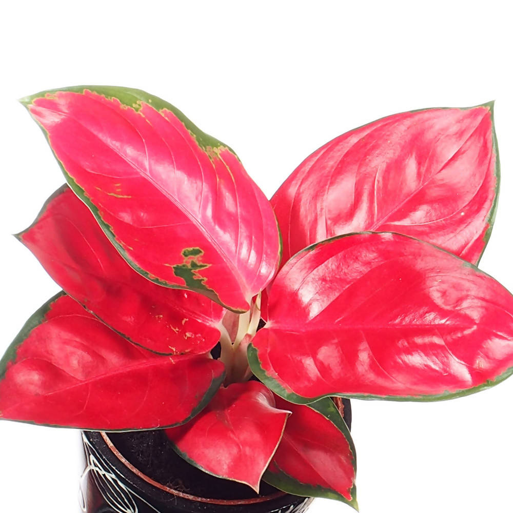 Aglaonema Super Red Mini in Ceramic Pot