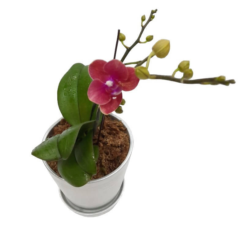 1 in 1 Mini Phalaenopsis Orchid with Silver Pot (0.35m)