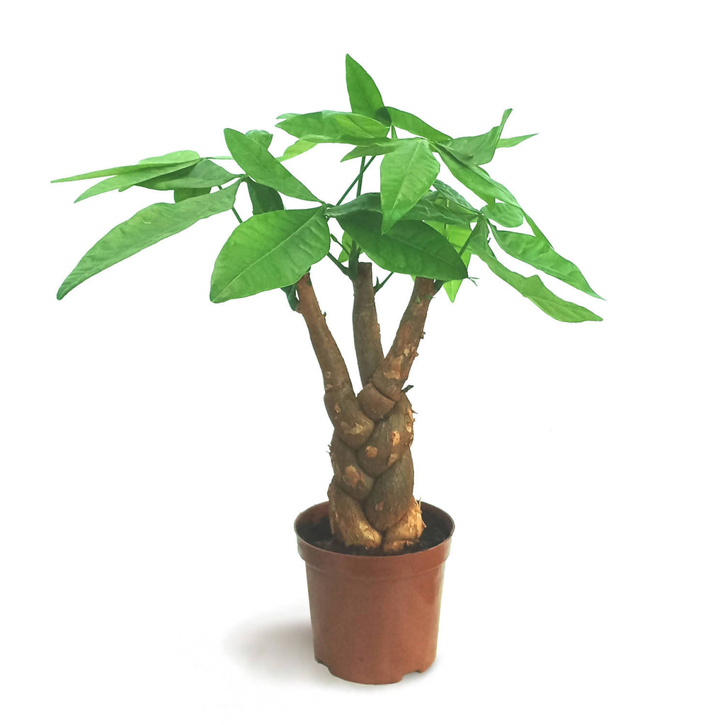 Pachira Twist, Money Plant (0.4m)
