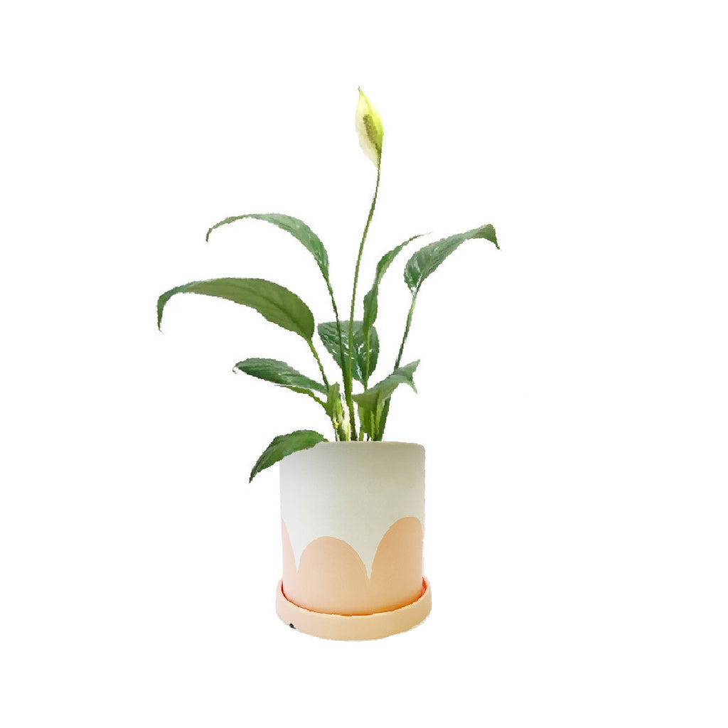 Peace Lily in Kola Planter in Pink Bottom
