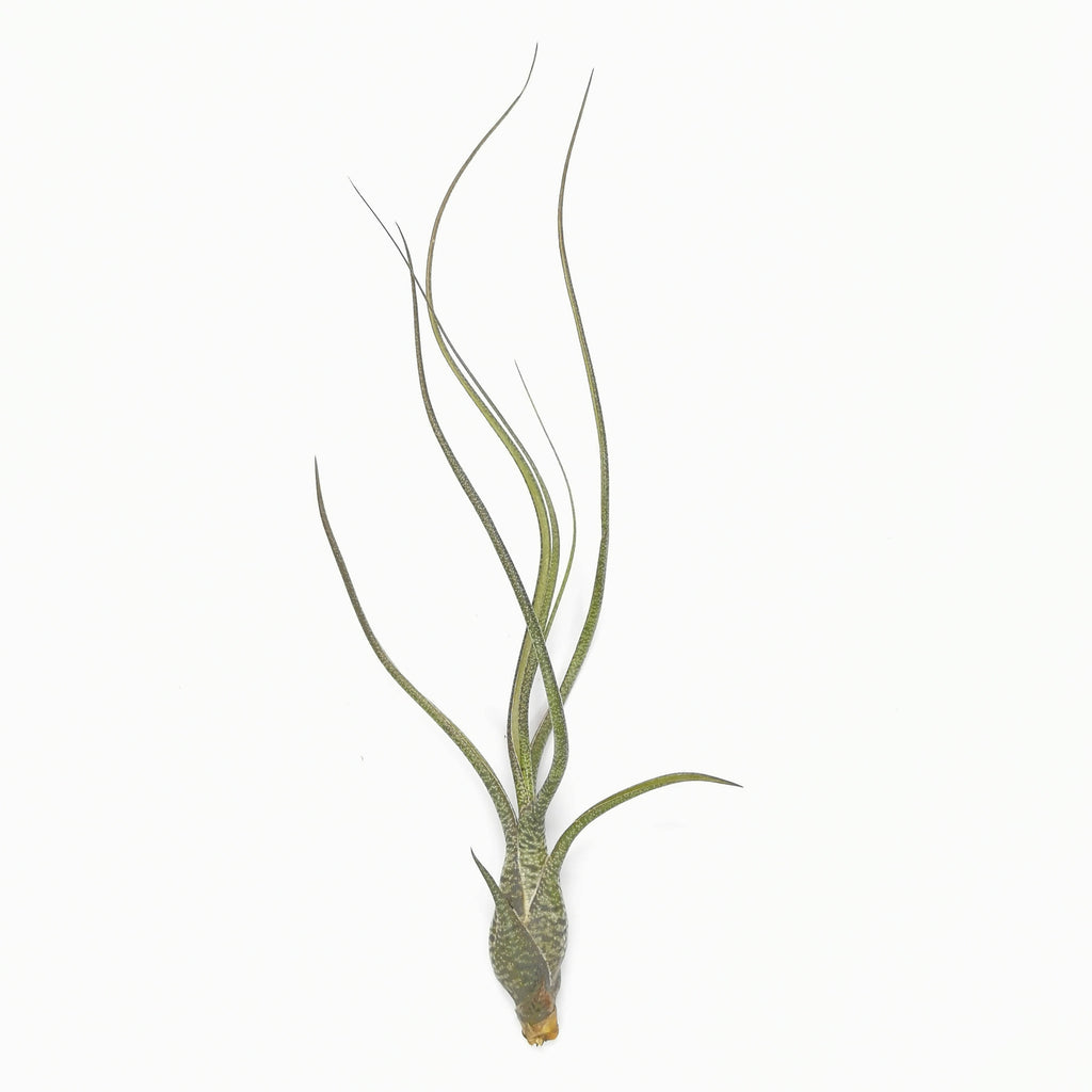 Air Plant Tillandsia butzii