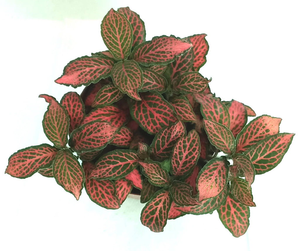 Fittonia red, Nerve Plant(8.5cm)