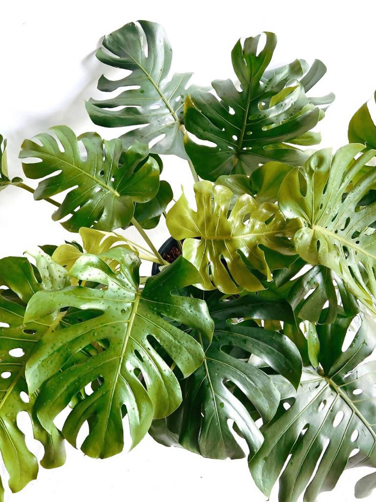 Monstera deliciosa, 'Swiss Cheese Plant' (1m)