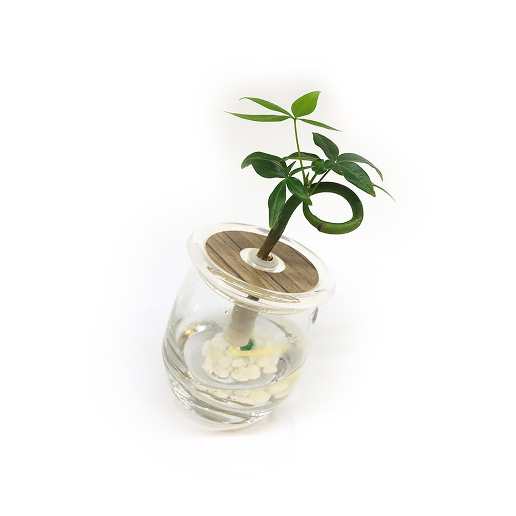Hydroponic Bonsai in Spinning Vase