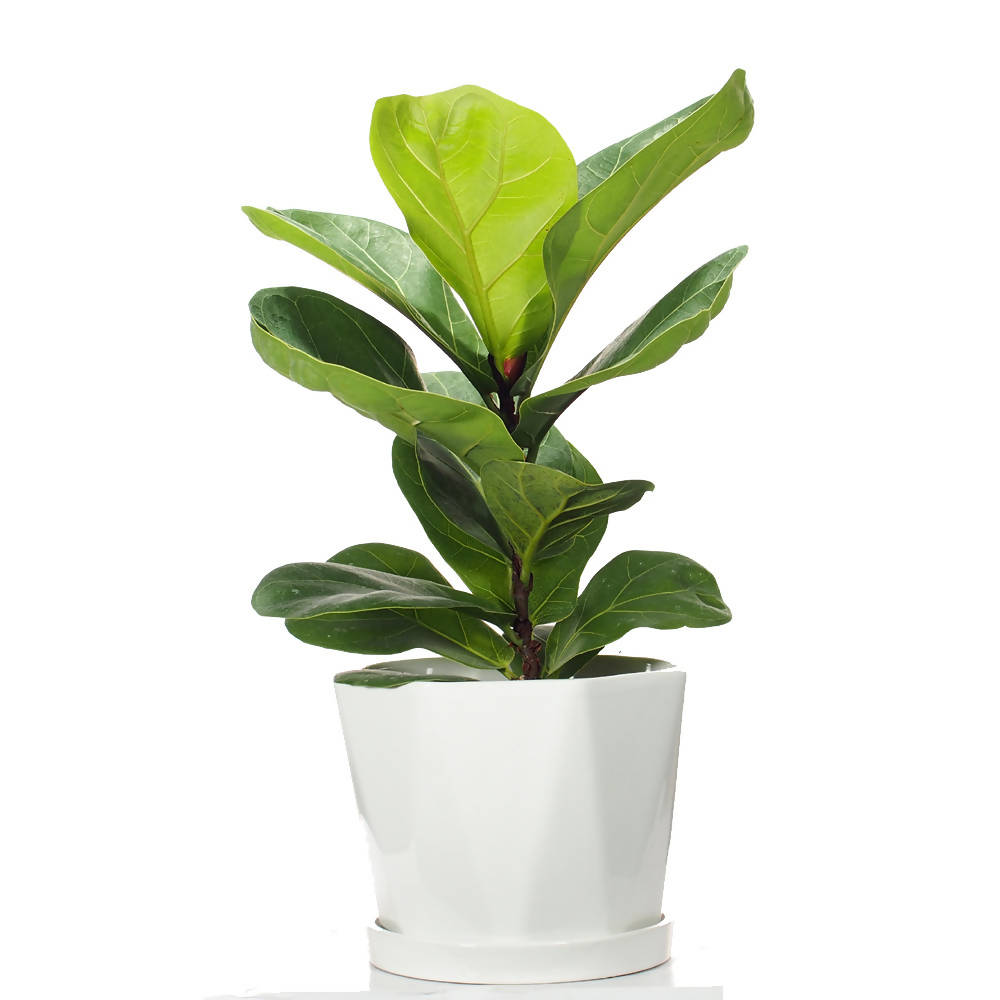 Ficus lyrata Gift Box, Fiddle-leaf fig in ceramic pot
