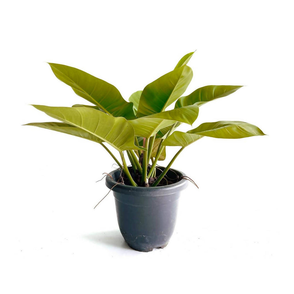 Philodendron Imperial Green (0.6m)