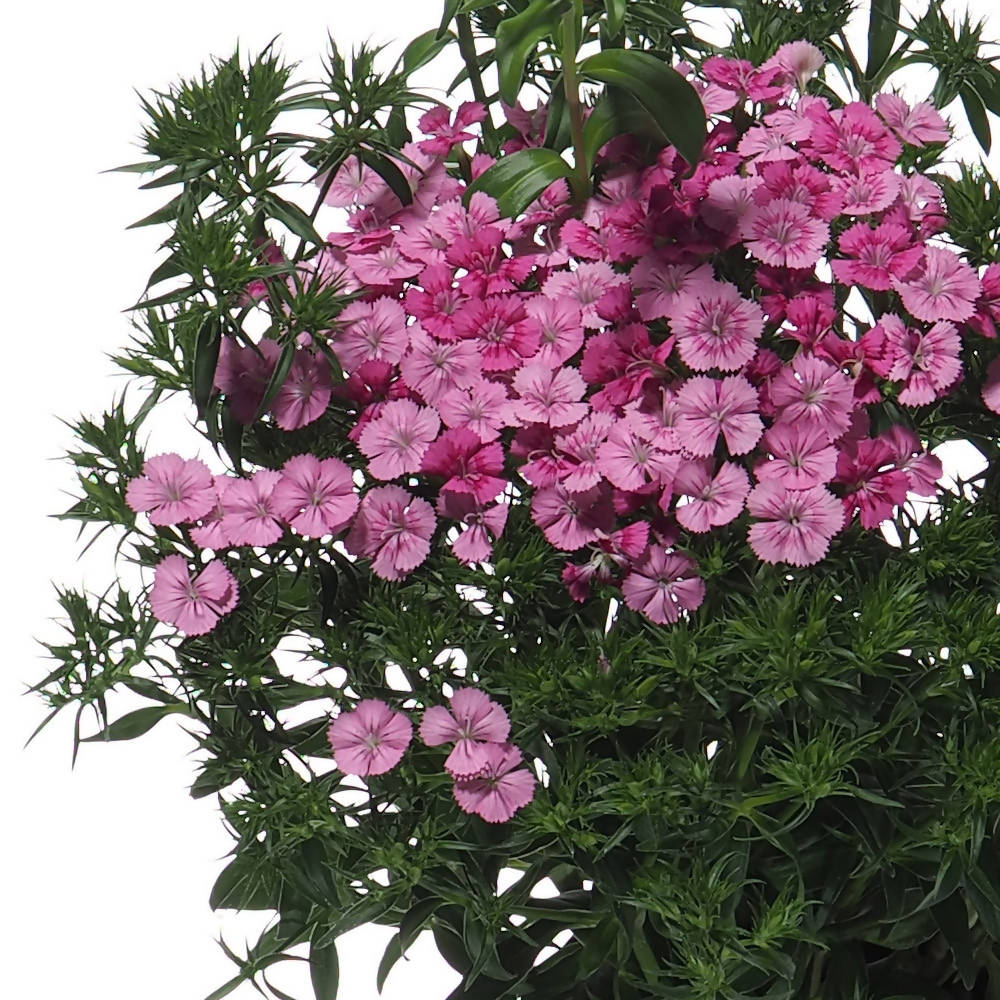 Dianthus chinensis, China Pink (0.30mH)