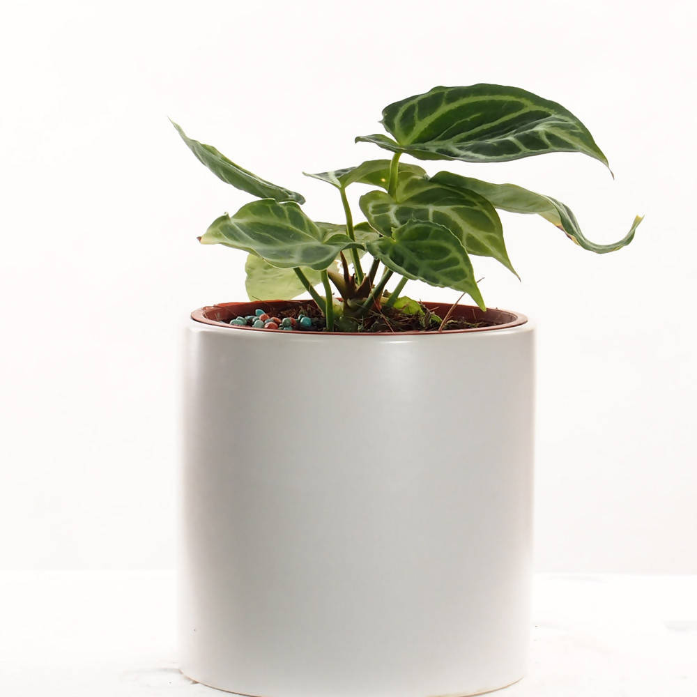 Anthurium crystallinum in ceramic pot