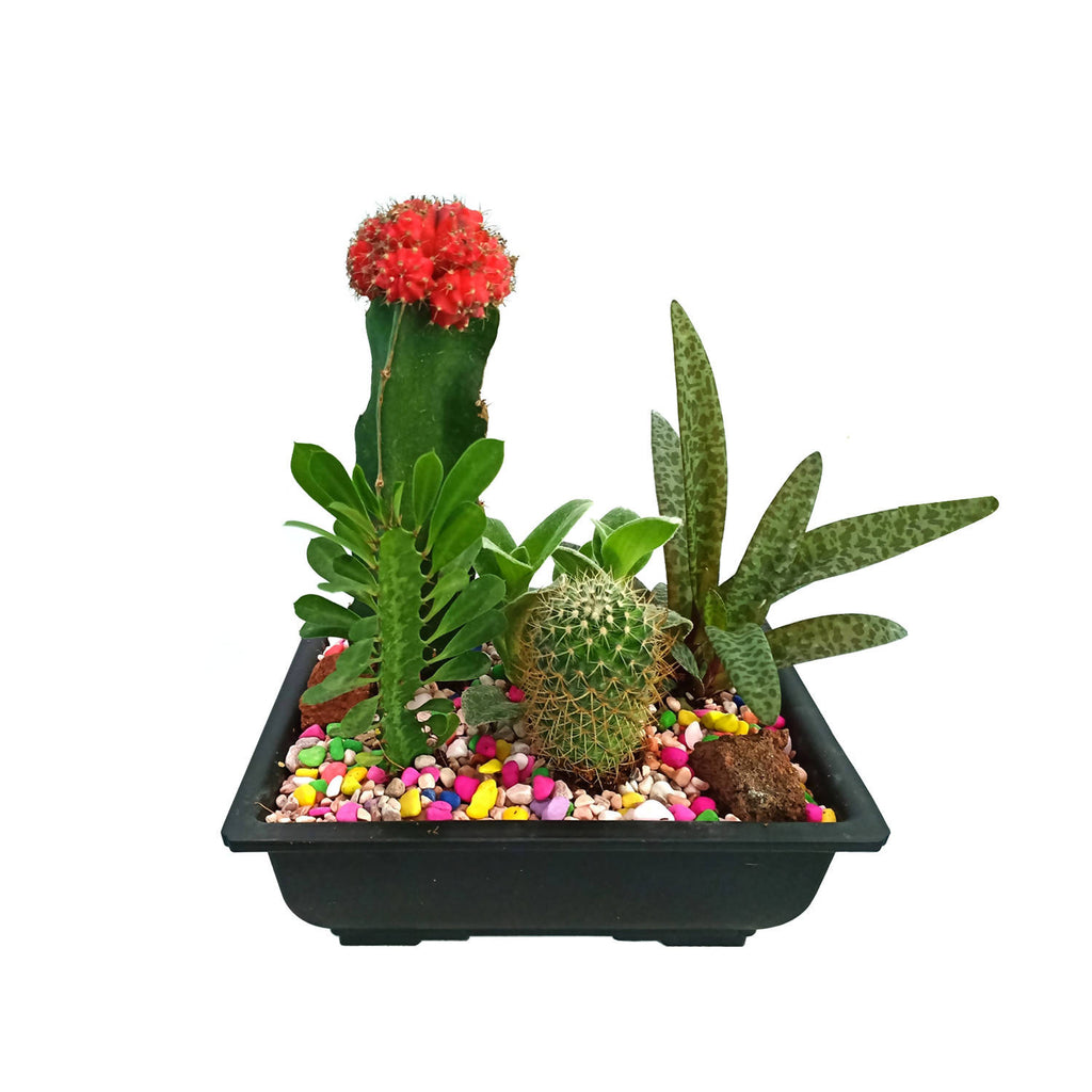 Grafted Cactus Assorted Set (0.2m)