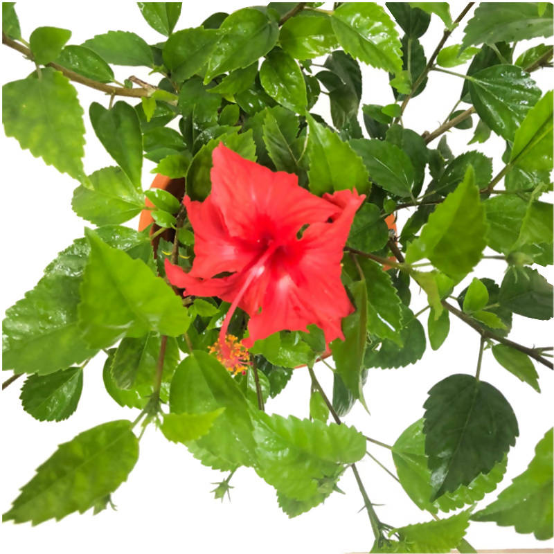 Hibiscus rosa-sinensis, Chinese Hibiscus, Rose of China (0.45m)