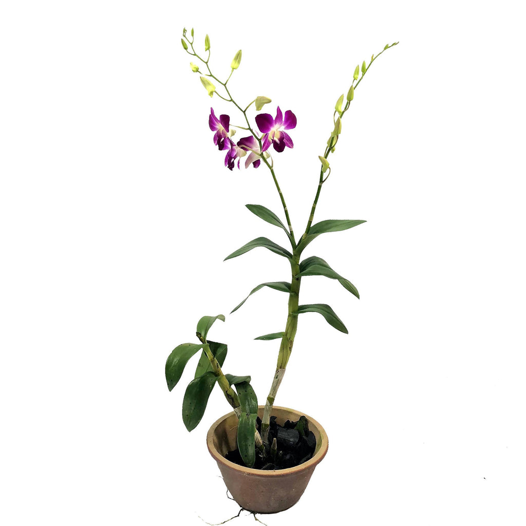 Dendrobium sp., Orchid, Purple (0.8m)