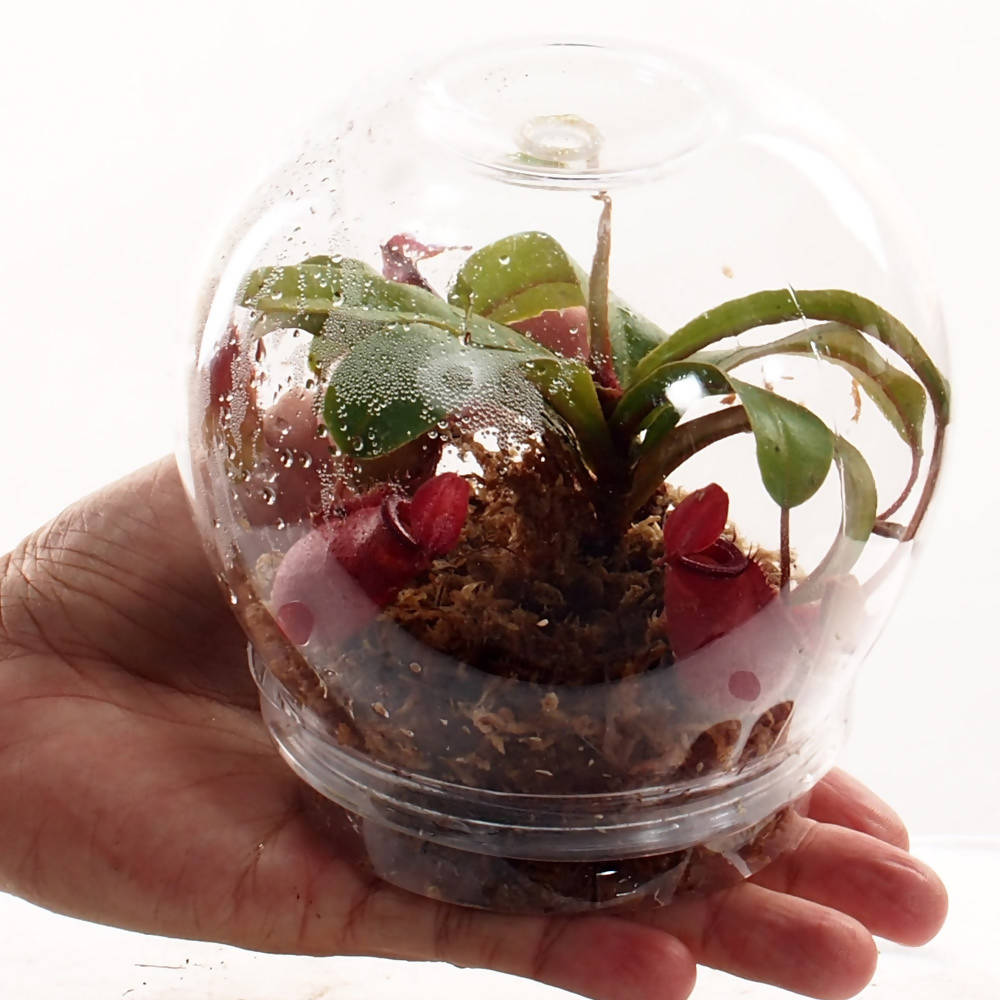 Nepenthes Red in Ball Container (0.1m)