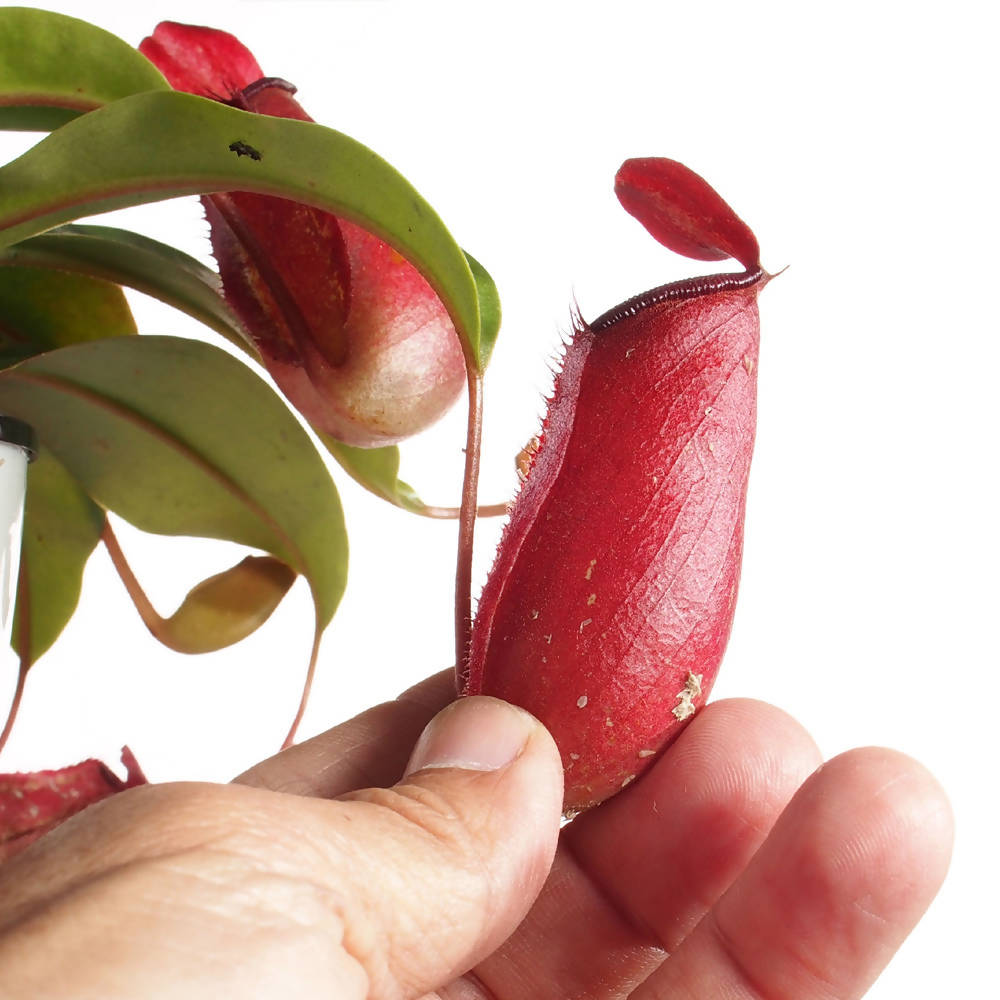 Nepenthes Red in white plastic pot