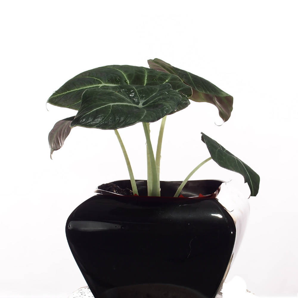 Alocasia Reginula, Alocasia Black Velvet in ceramic pot