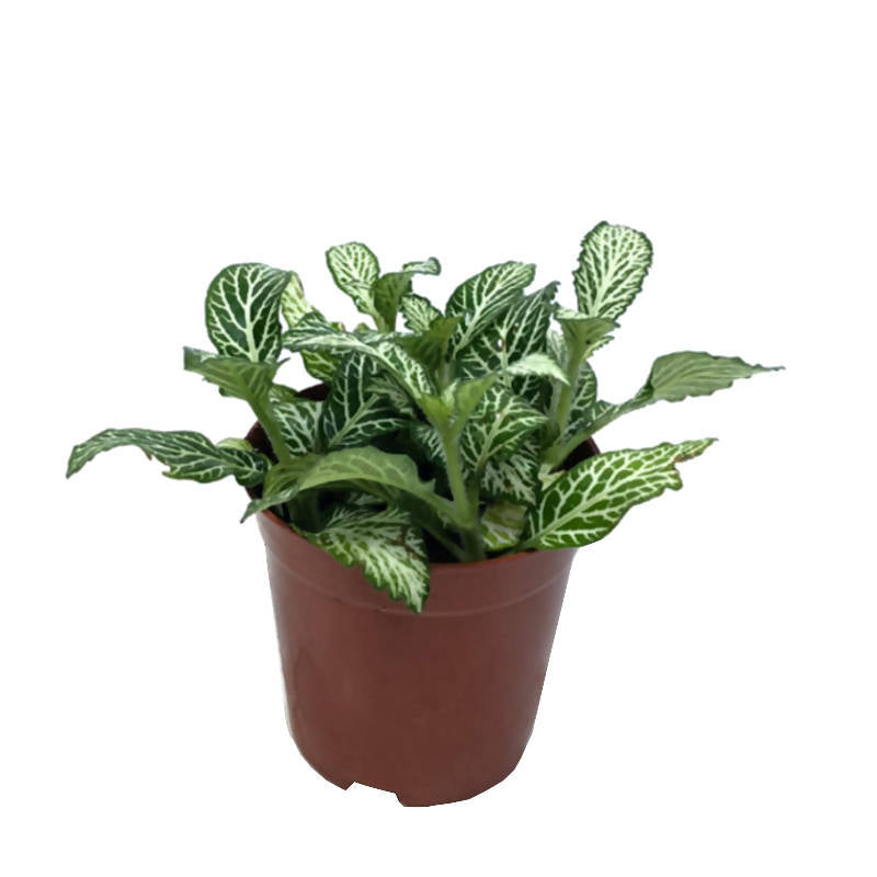 Fittonia Mosaic White Tiger (0.13m)