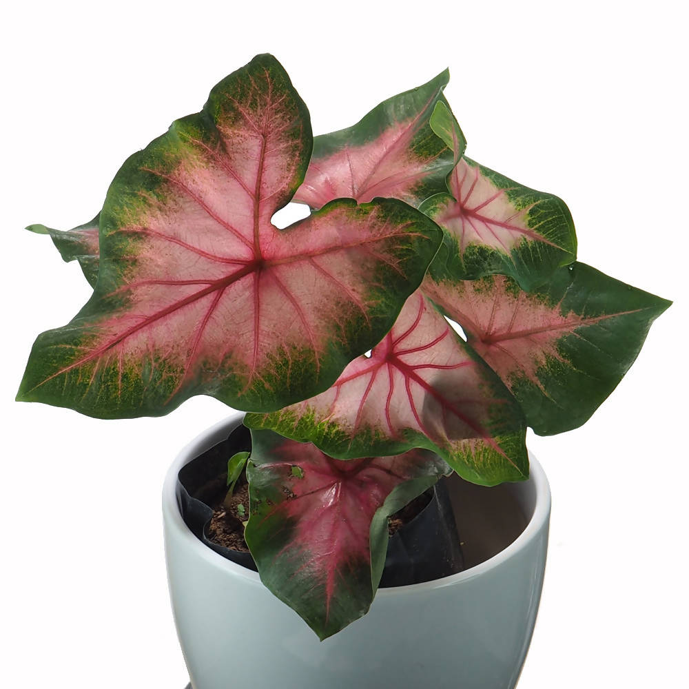 Caladium Bicolor in Ceramic Pot