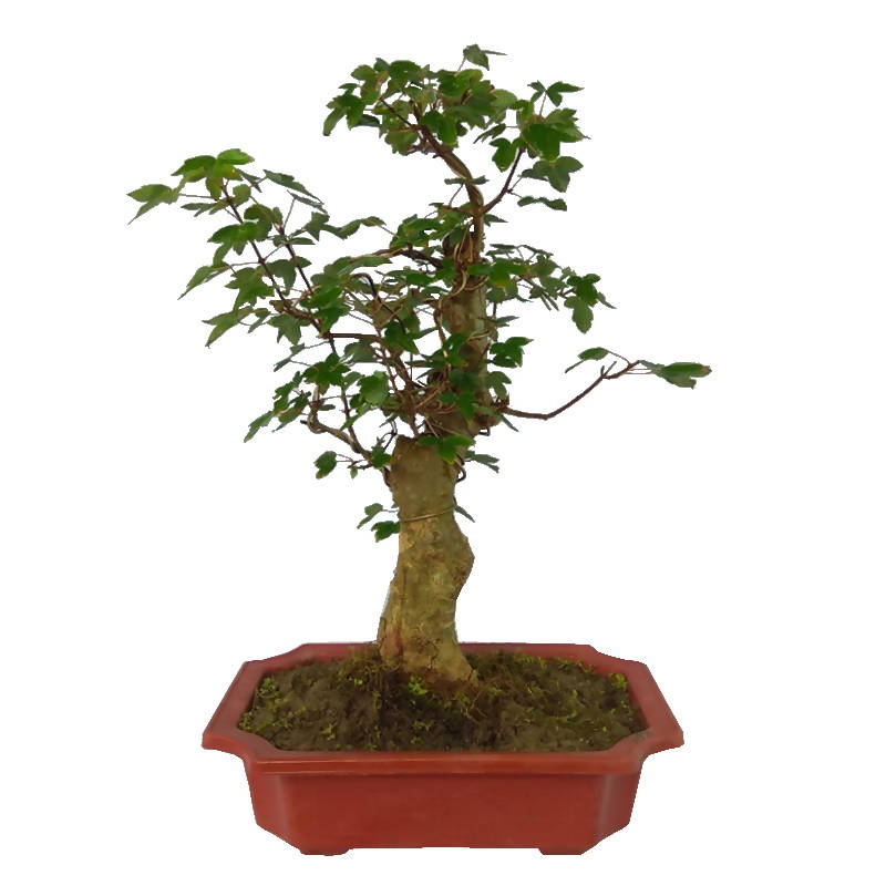 Acer palmatum, Dwarf Japanese Maple Bonsai (0.4m)