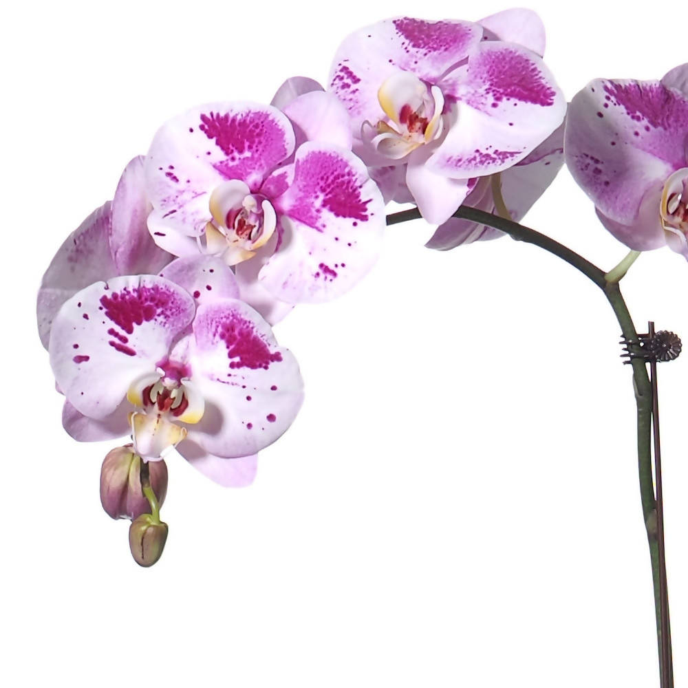 1 in 1 Phalaenopsis DPD with pot