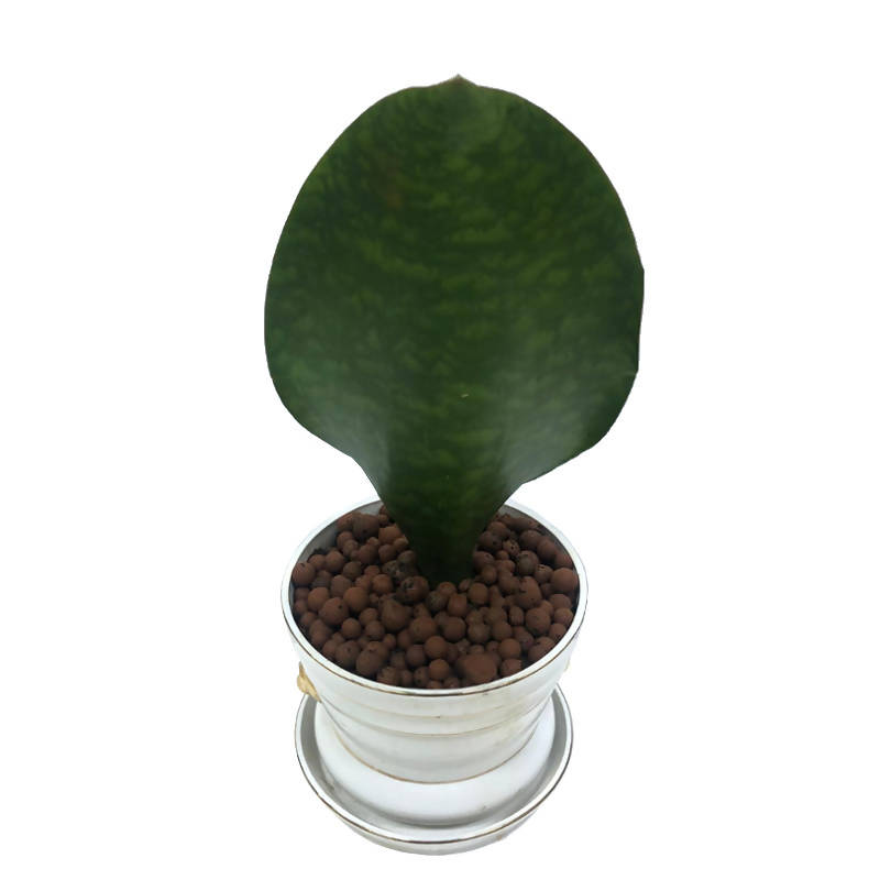 Sansevieria masoniana, Somali Good Luck Plant in Design Pot (0.38m)