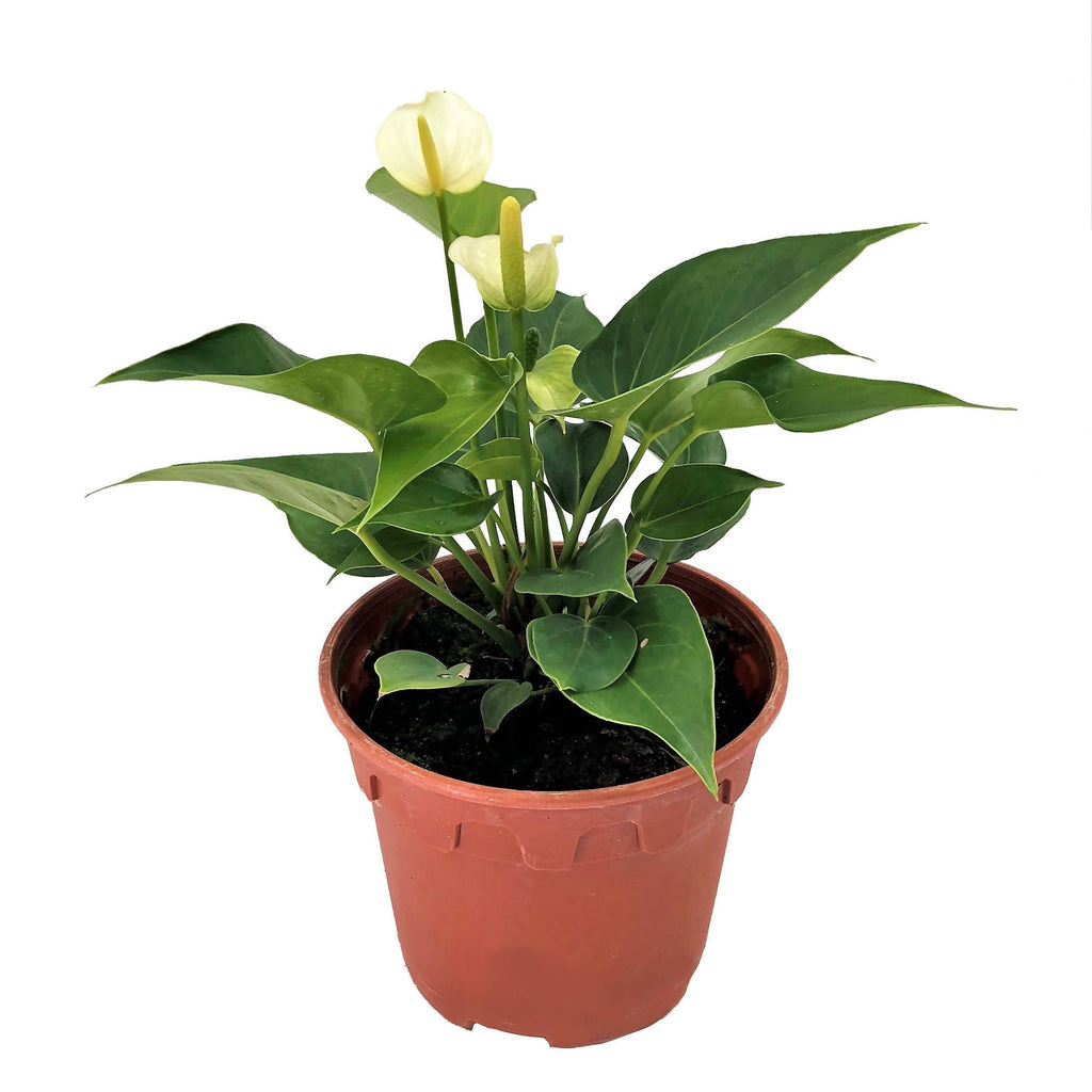 Anthurium andraeanum 'White', Flamingo Flower (0.2m)