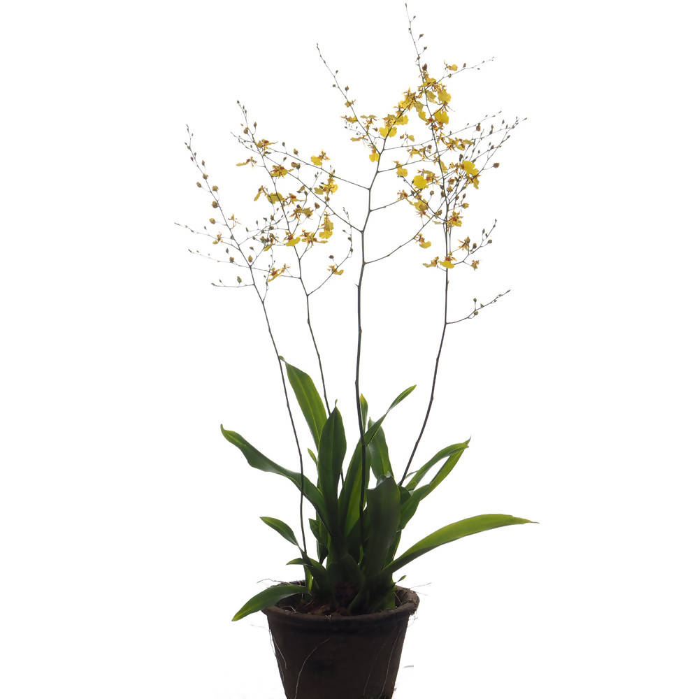 Oncidium Golden Wish, Dancing Lady Orchid (0.25m)