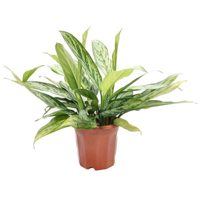 Aglaonema nitidum 'Silver Queen', Chinese Evergreen (0.4m)