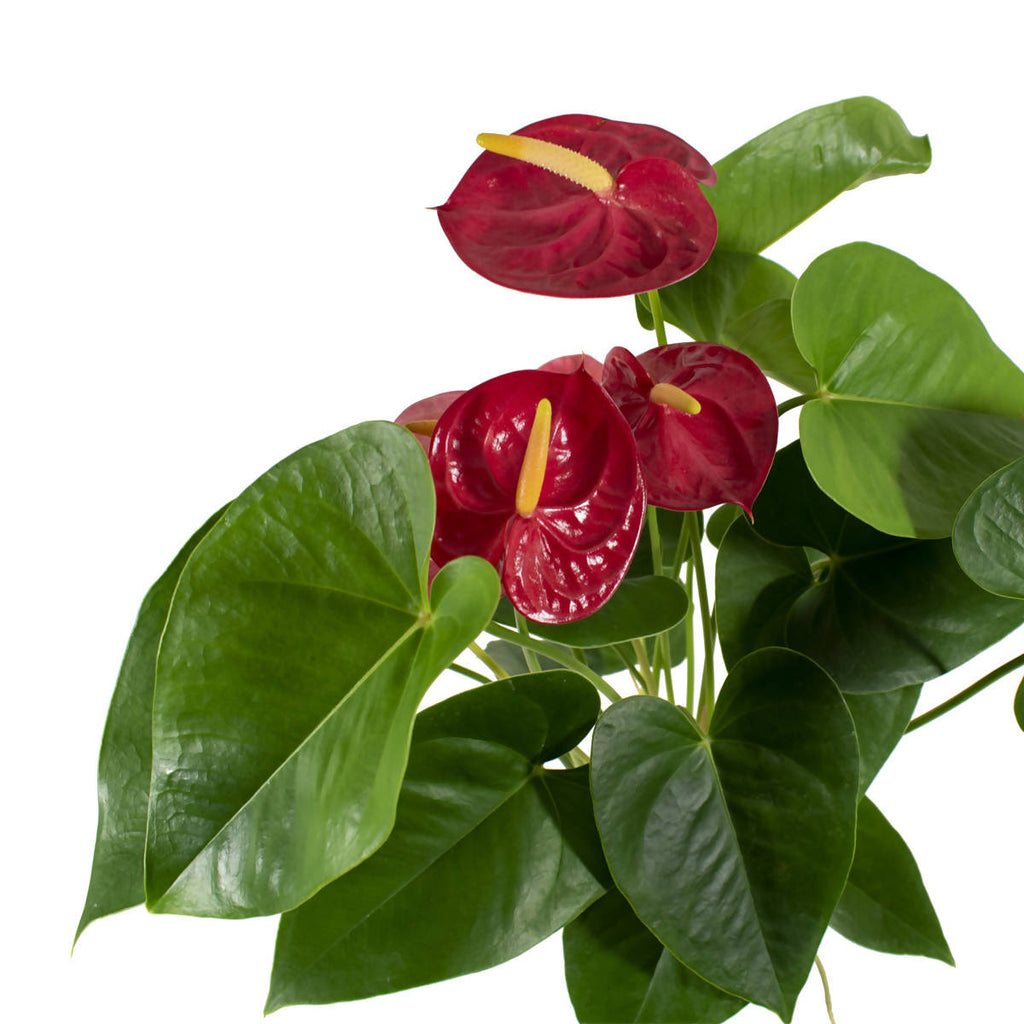 Red Anthurium (Hydro) in Self Watering Pot (0.4m)