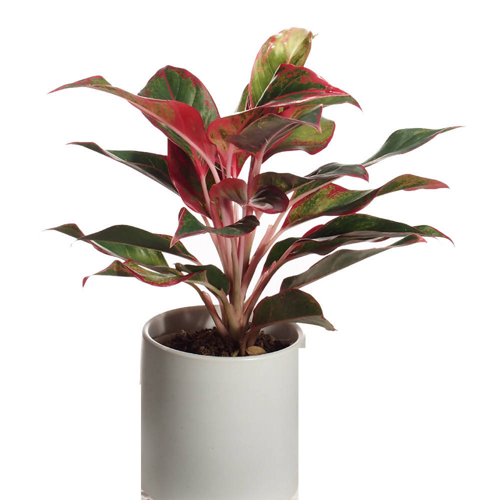 Aglaonema in Ceramic Pot