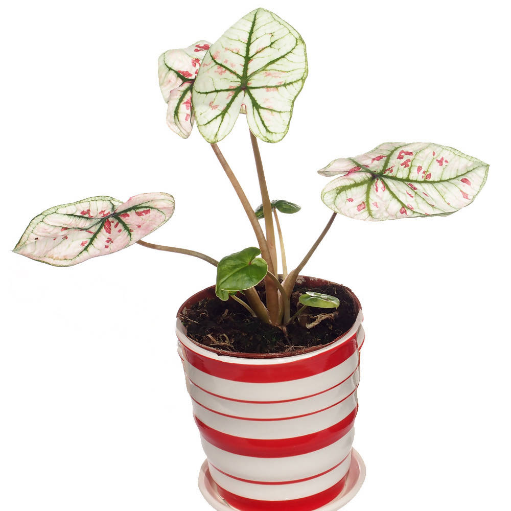 Caladium white red spots in Ceramic Pot
