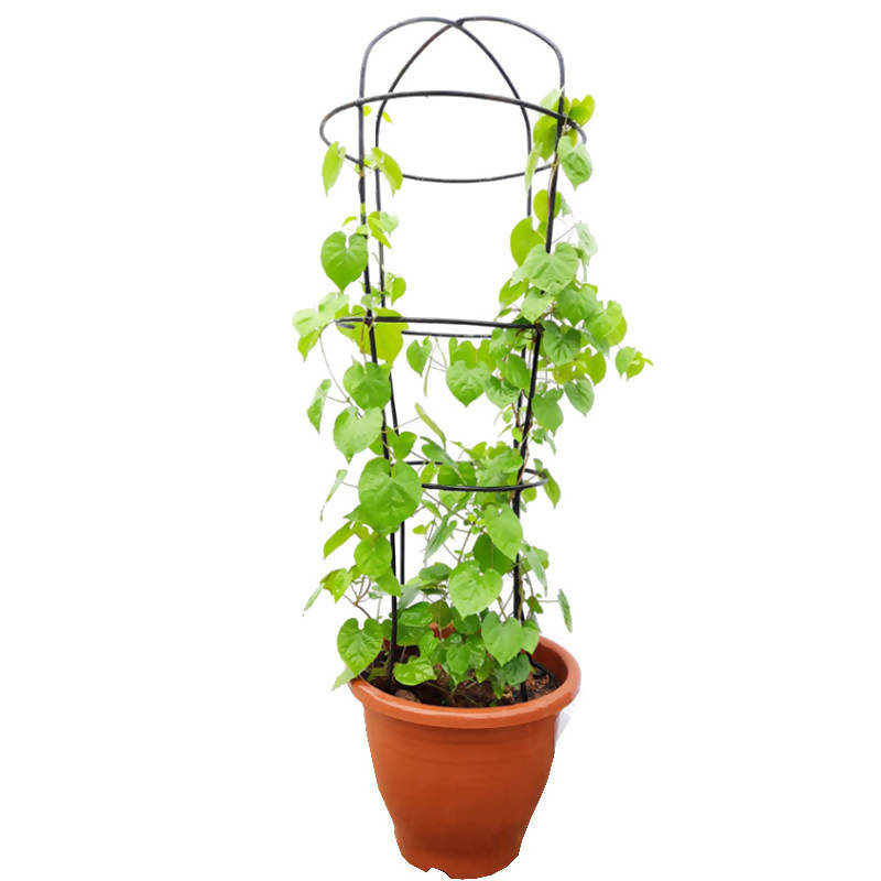 Telosma Cordata, Chinese Violet with Trellis Decorative Metal Climbing Frame (0.6mH)